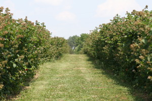 Cover photo for Southern Region Small Fruit Consortium 2014 Caneberry IPM Guide Now Available