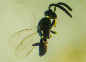 Anastatus mirabilis