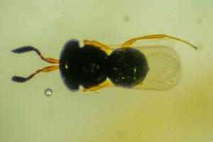 T brochymenae (8)-2