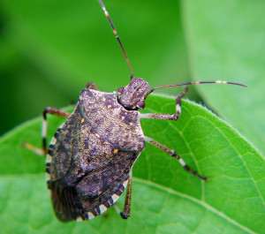 Cover photo for Updated Website for Brown Marmorated Stink Bug