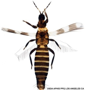 banded thrips