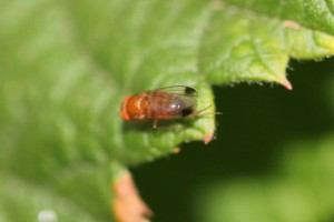 Male spotted wing drosophila on raspberry leaf.