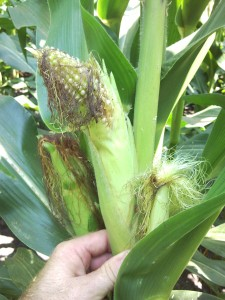 Cover photo for Stink Bugs in Corn