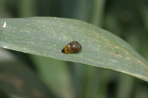 Cover photo for It's Been Warm! Know When to Check for Cereal Leaf Beetle in Wheat