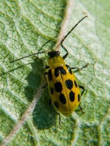 cucumber beetle