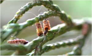 First instar bagworms with tiny upright bags. Photo: AG Dale
