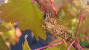 Large bagworm feeding on maple. Photo: SD Fran
