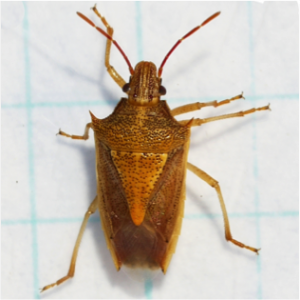 Cover photo for Check Wheat and Corn for Stink Bugs- Management Recommendations