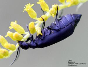 Figure 5.  The Black Blister Beetle  (Epicauta pensylvanica) David Cappaert