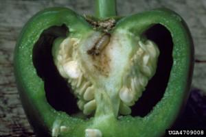European corn borer on pepper