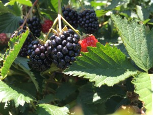 hq blackberries