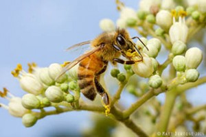 Female honey bee collecting pollen