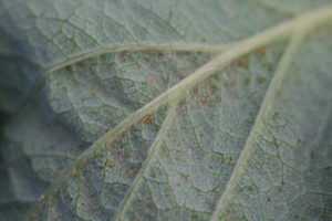 Two-spotted spider mites on the underside of a strawberry leaf