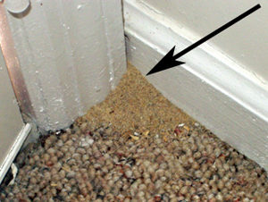 soil pushed up at edge of carpet inside a home is likely due to fire ants