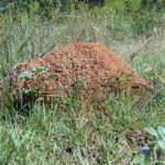 Fire ant mound in a field.
