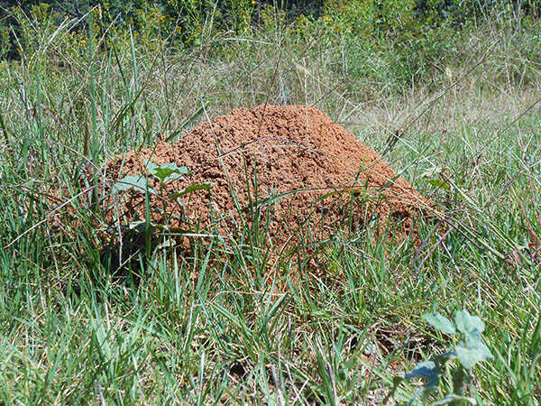 Red Imported Fire Ant Nc State Extension - Map-of-fire-ants-in-us