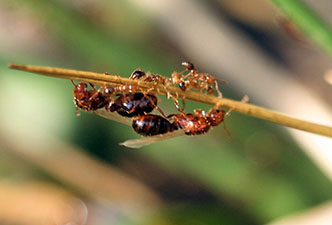 Red Imported Fire Ant Nc State Extension