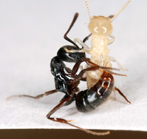 Asian needle ant attacking a termite