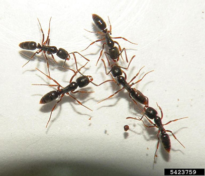 Asian Needle Ant | NC State Extension