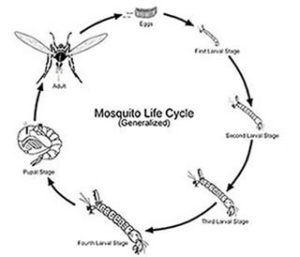 Diagram of mosquito life cycle
