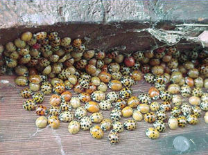 Multi-colored Asian lady beetles congregating on fascia boards of house.