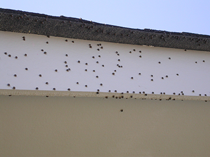 Kudzu Bugs on fascia board of house