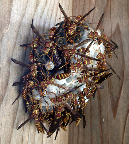 Polistes (paper) wasps on a nest attached to wooden frame