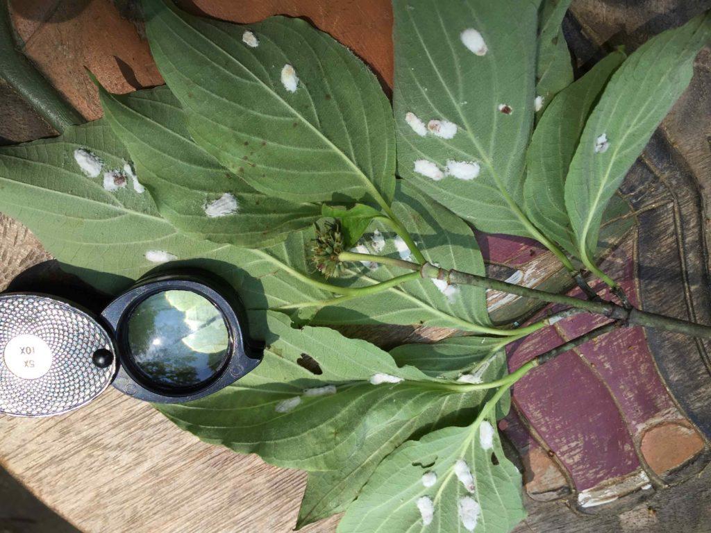 Cottony maple leaf scale ovisacs on dogwood leaves. Photo: SD Frank