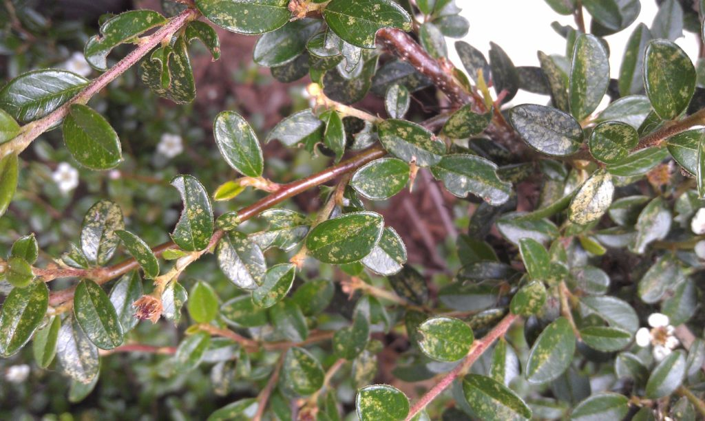 Hawthorn lace bug damage on cotoneaster. Photo: SD Frank