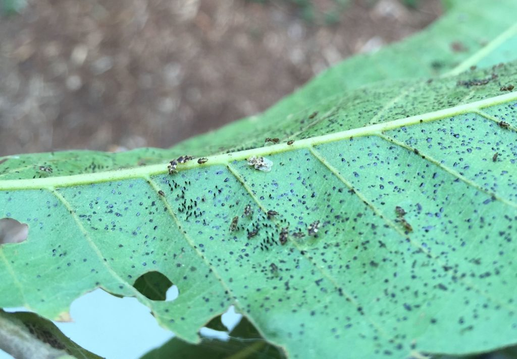 Oak lace bugs in multiple stages with fecal spots. Photo: SD Frank