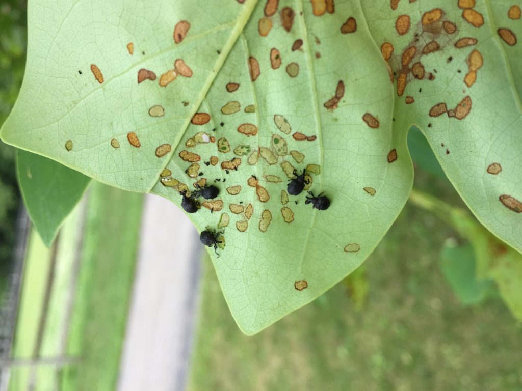 Yellow poplar weevils and damage on tulip poplar. Photo: SD Frank