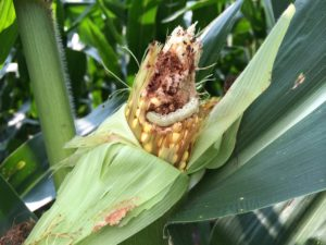 Cover photo for Should We Worry About Earworms in Bt Corn?