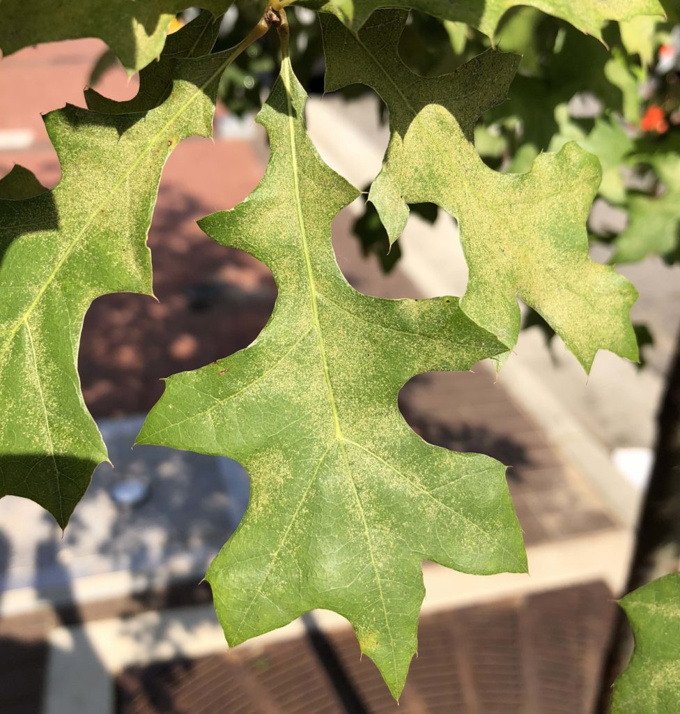 Stippling damage from oak spider mites on leaves of a street tree. Photo: SD Frank