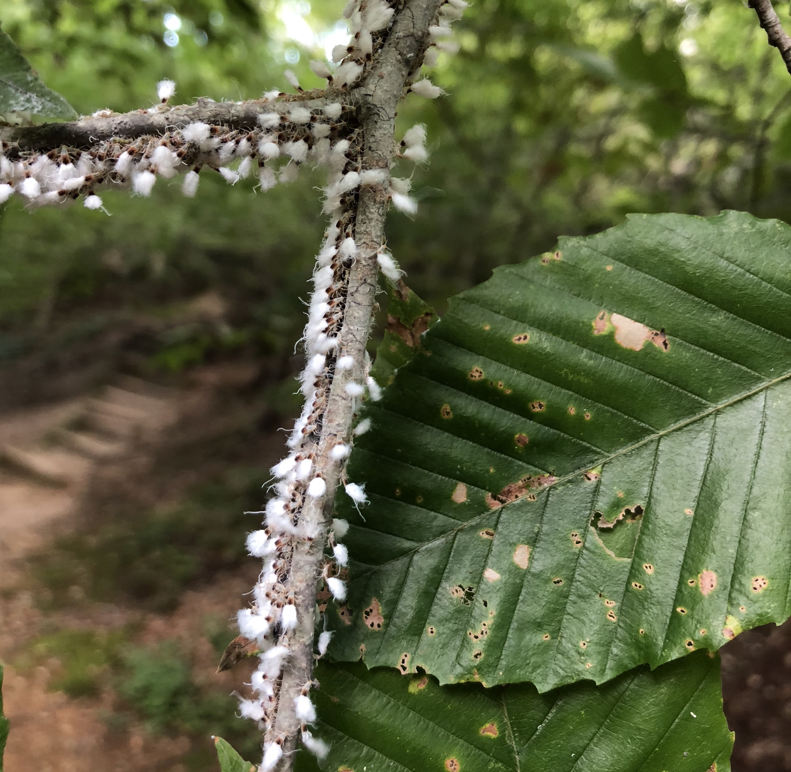 Christmas Tree Aphids.Beech Blight Aphids Nc State Extension