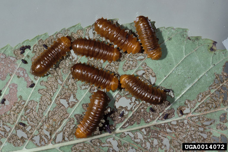 Larvae of the larger elm leaf beetle. Photo: Gerald J. Lenhard, Louiana State Univ, Bugwood.org
