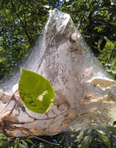 Fall webworm nest. Photo: SD Frank