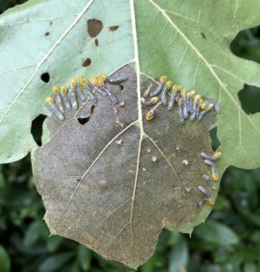 Sawfly larvae, probably Caliroa quercuscoccineae, on a red oak and the window pane damage they cause. Photo: SD Frank