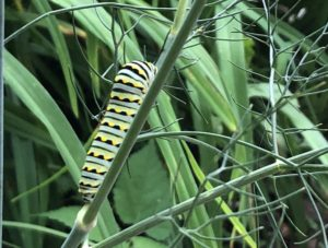 Black swallowtail caterpillar on fennel. Photo: GG Frank