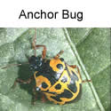 Anchor bug adult