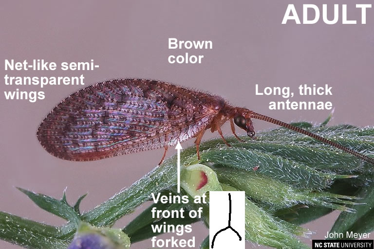 Brown lacewing adult