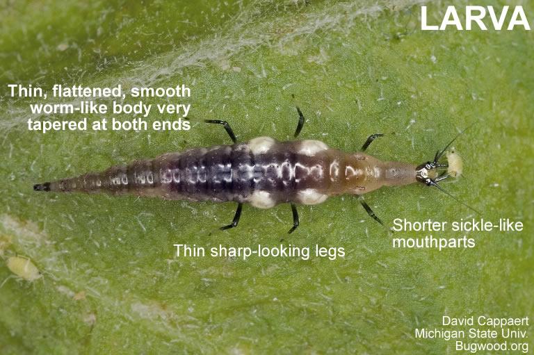 Brown lacewing larva