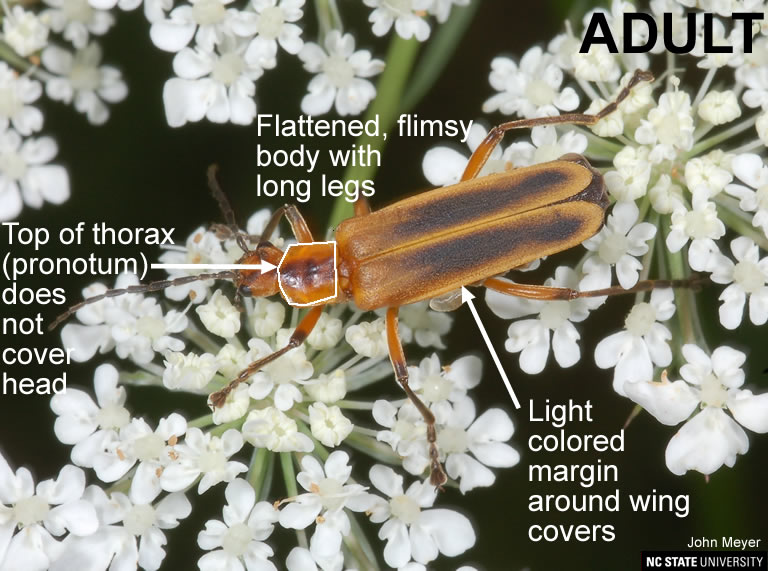 Chauliognathus adult