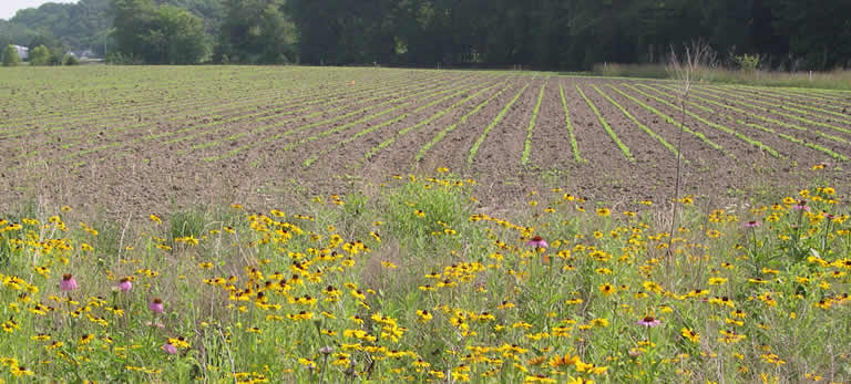 field with crop emerging