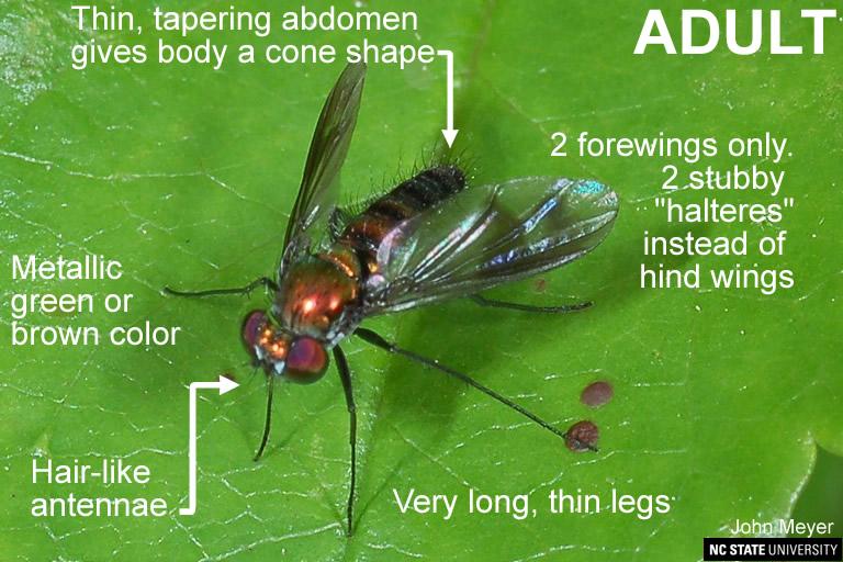Dolichopodid Fly brown
