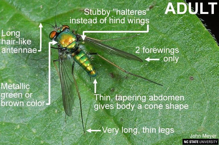 Dolichopodid Fly green