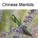 Chinese Mantid