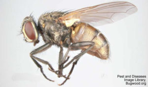side view of housefly