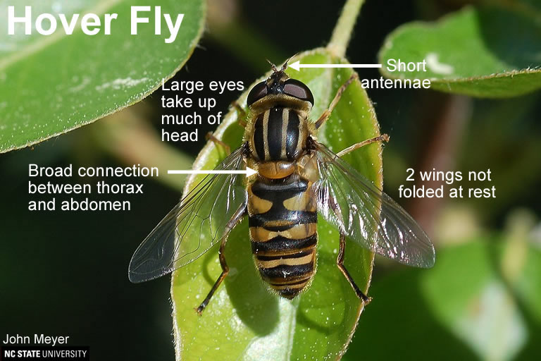 Hover Fly similarity to Paper Wasp