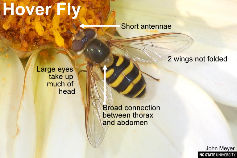 Hover Fly similar in appearance to Yellow Jacket