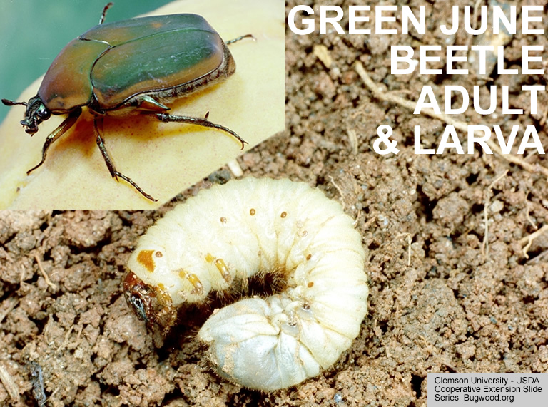 June Beetle adult and larva